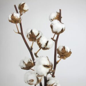 dried cotton stems zoom