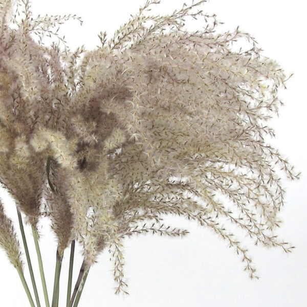 dried miscanthus grass zoom