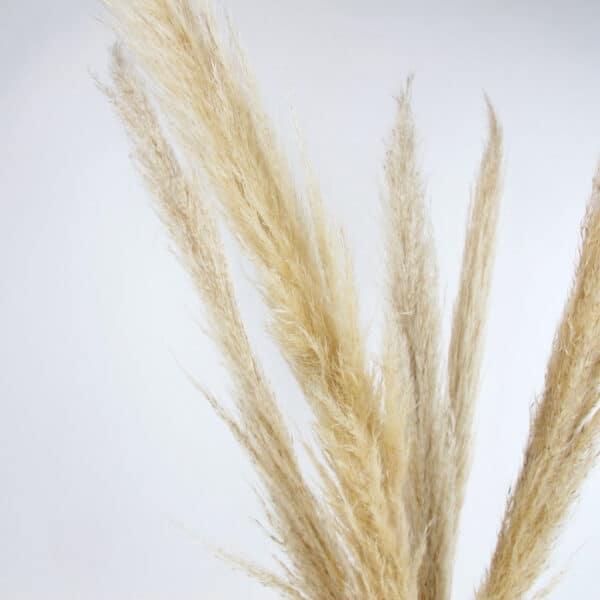 dried pampas grass zoom