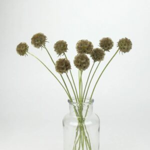 dried scabious