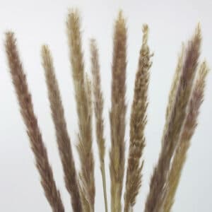 dried mini pampas grass zoom