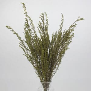 dried solidago