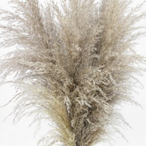 large fluffy dried pampas grass zoom