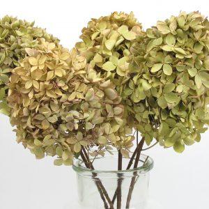 dried hydrangeas zoom